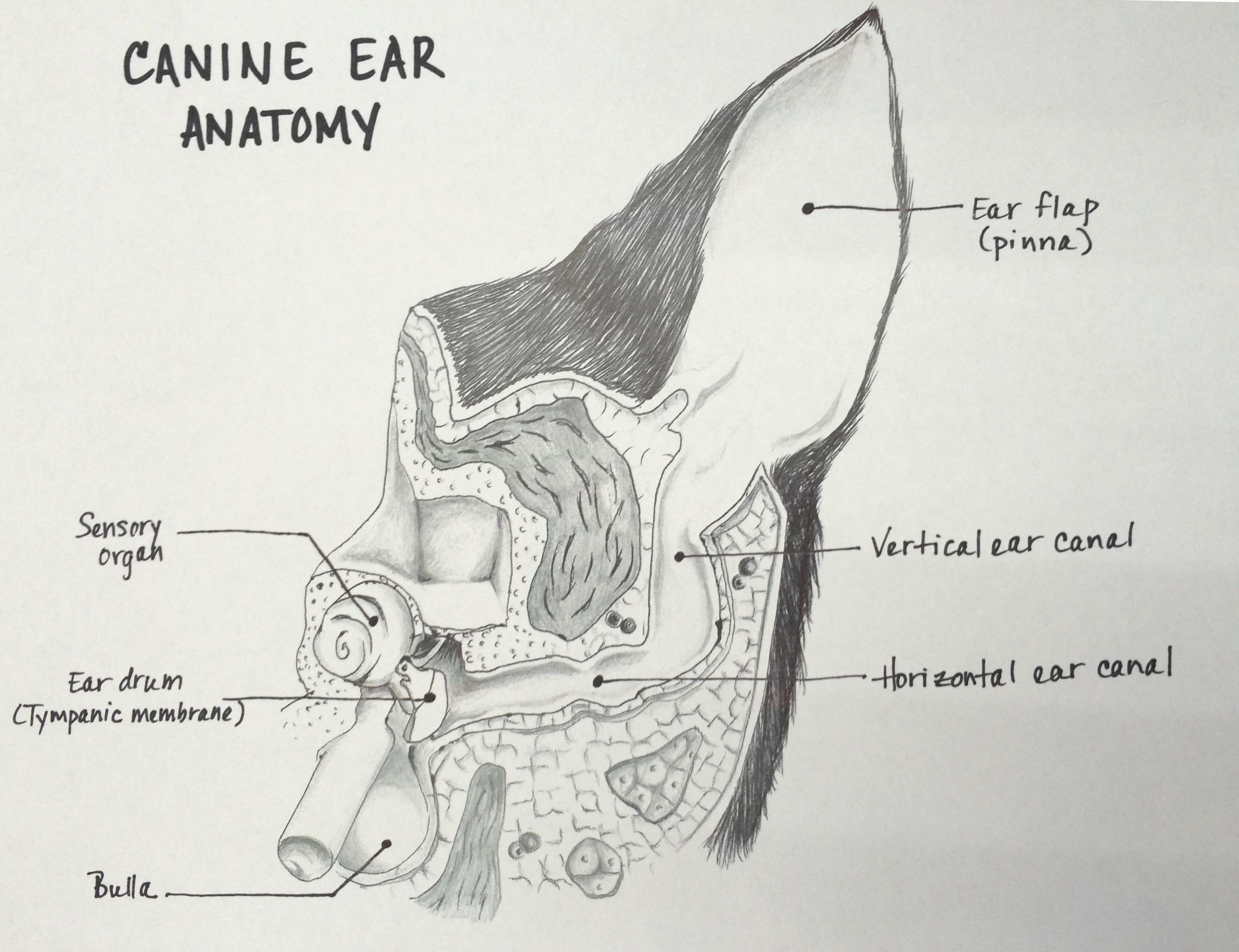 Canine ear anatomy | Veterinary Medical Center